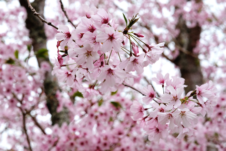 cherry blossom at cornwall park auckland Imagens - 115682012