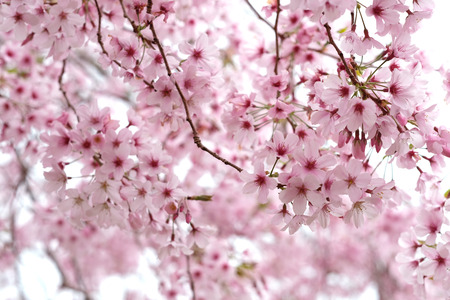 cherry blossom at cornwall park auckland Imagens