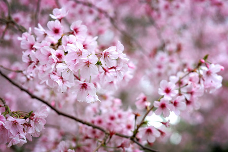 cherry blossom at cornwall park auckland Imagens - 115682014