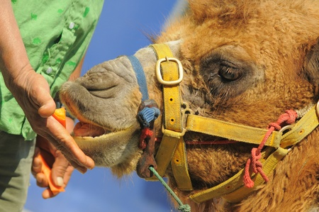 one humped: Giving Food to Camel