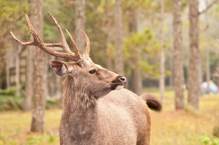 phukradueng: sambar deer in Phukradueng National Park
