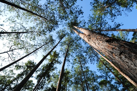 national forests: pine forest in Num Nao National Thailand