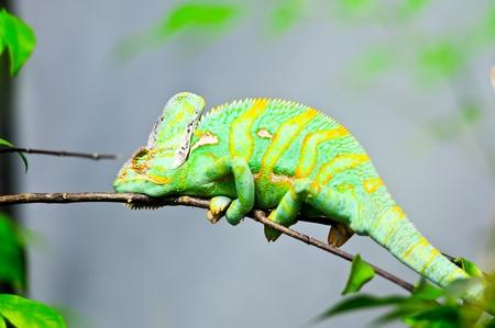 veiled chameleon( Chamaeleo calyplratus) in Dusit Zoo Thailand photo