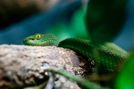 Green Tree Python Chondropyhon viridis Green Snake  photo