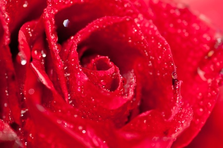 Close up Red Rose photo