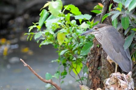 bacchus: Chinese Pond Heron  Ardeola bacchus ,Bird in Thailand international Park