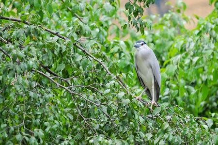 bacchus: Chinese Pond Heron (Ardeola bacchus),Bird in Thailand international Park Stock Photo