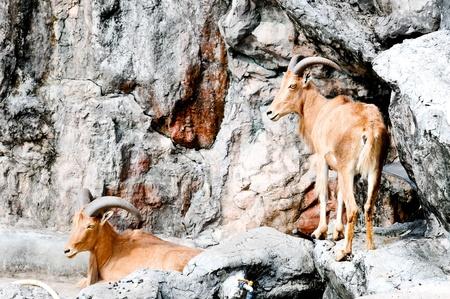 Barbary Sheep ,Ammotragus , Animal in North Africa photo