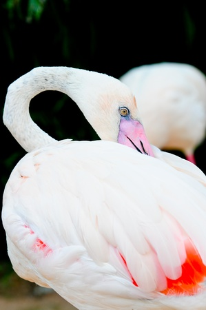 Flamingo in Dusit Zoo Thailand photo