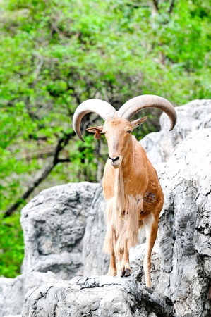 Barbary Sheep ,Ammotragus , Animal in North Africa  Stock Photo - 12469611