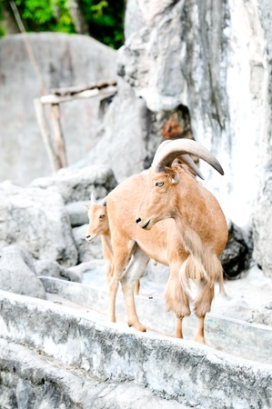 Barbary Sheep ,Ammotragus , Animal in North Africa  photo