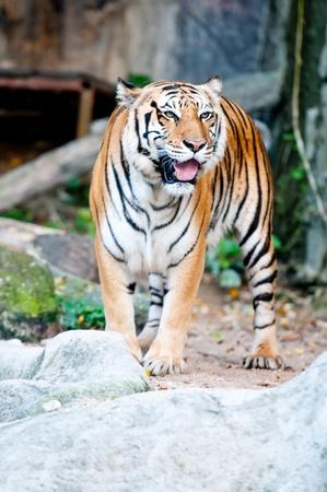 Tiger in Kaokeaw Zoo Thailand photo