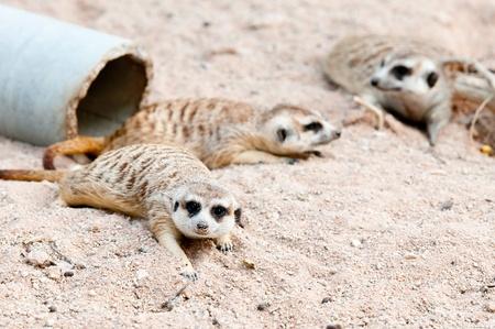 erdmaennchen: Meerkat in Kao Kaew Zoo