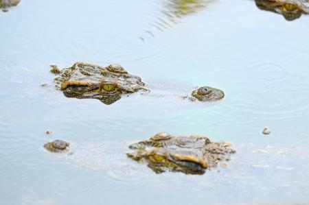 Crocodile in the river Stock Photo - 13816020