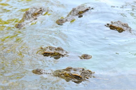 Crocodile in the river photo