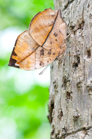 amanda: Orange oak leaf butterfly ,Kallima inachus ,Nymphatidae on the tree