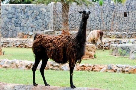 Lama animal looking something photo