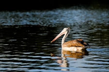 malandros: Cerca al contado Anunciado Pelican en Zoo