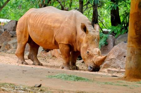 sturdy: Rhinoceros in Zoo Thailand