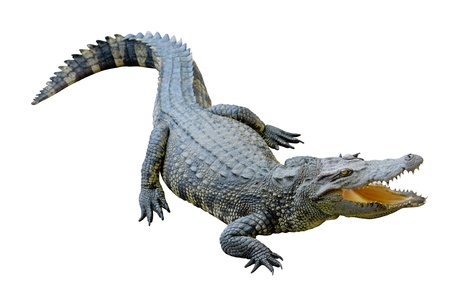 Crocodile looking something with clipping path photo