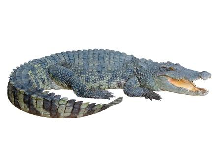 Krokodil zoek iets met clipping path Stockfoto