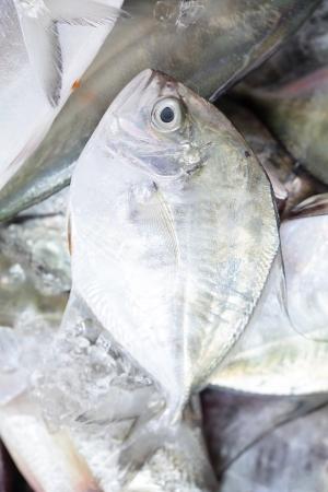 thunnus: close up bluefine tuna fish in the fresh market Stock Photo