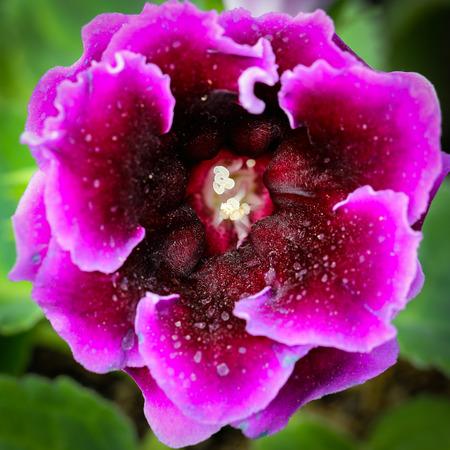 Close up single Fairy rose in Thailand Garden photo