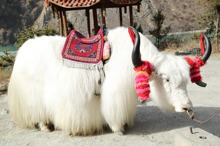 White tibetan yak for customer sit in China National park photo