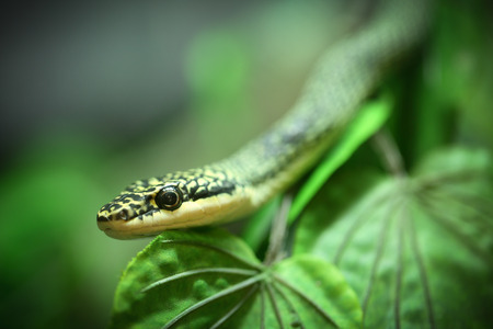 Close up Golden tree snake  relax on the leaf photo