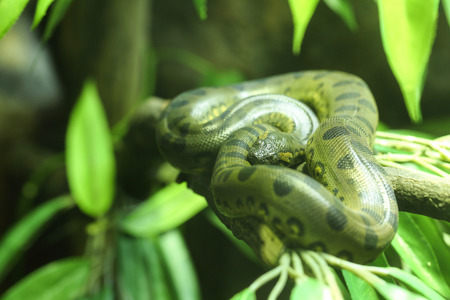 Close up Green anaconda in the jungle