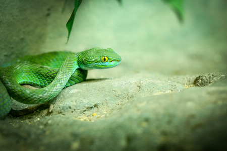 Big-Eyed Pit Viper ,Trimeresurus macrops Green Snake photo