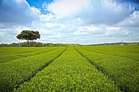 Green tea plant with HDR in Jeju Korea photo