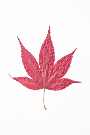 red maple leaf: Red maple leaf isolated with white background