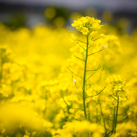 Yellow flowers field ,rapeseed in the outside. photo