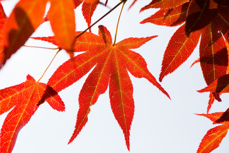 red maple leaf: Red maple leaf in Jeju Korea garden Stock Photo
