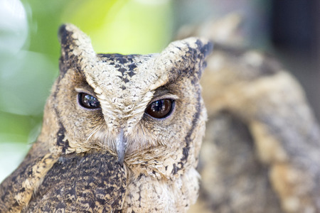 Great homed Owl looking something in natural wild  photo