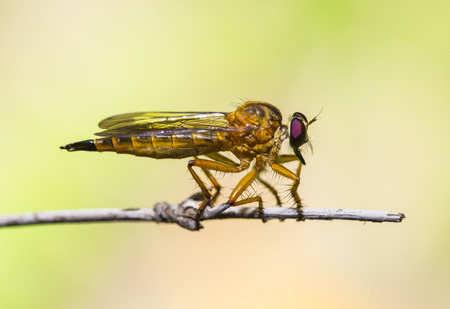 asilinae: Robber fly ,Asilidae Machimus holding in the nature Stock Photo