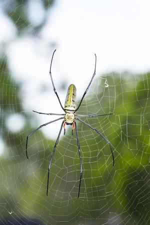 golden orb weaver: Oro Silk Orb Weaver Spider o Banana ragni in Thailandia Garden