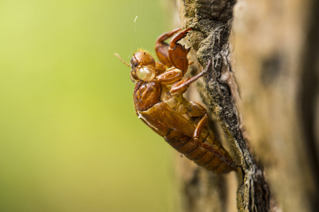 Cicada shell changed and hold tree photo