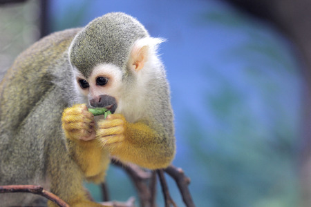 manuel: Squirrel monkey eat food in the forest Stock Photo