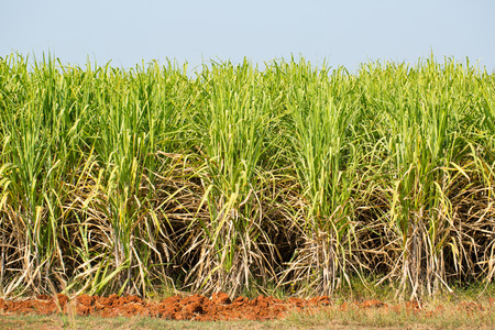filming point of view: Cane Plant Farm with Blue sky