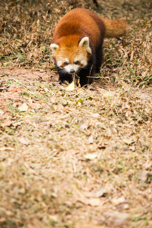 south sichuan: Red panda looking to camera in the nature.