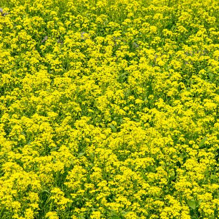 plant seed: Field rape seed flower plant in Jeju island Stock Photo
