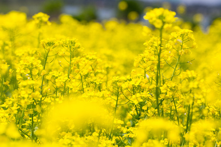 Field rape seed flower plant in Jeju island Archivio Fotografico