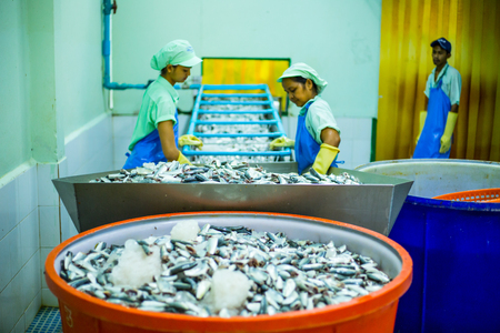 HATYAI ,SONGKLA-Auguest 31,2015: Worker are cleanning raw material Sardines fishes for send to production line in Canned fish factory in Songkla,Thailand. Stock Photo