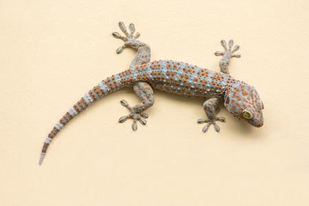 Gecko lizard climbing  wall background. Foto de archivo