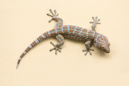 bugaboo: Gecko lizard climbing  wall background. Stock Photo
