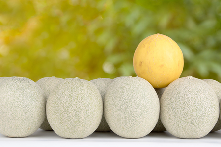 Golden cantaloupe melon on japanese cantaloupes for show different of group. Stock Photo