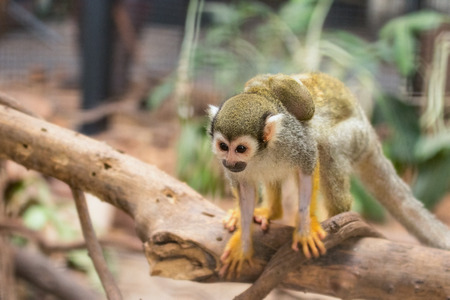 sciureus: Squirrel Monkey and baby  in the forest.
