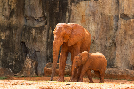 mam: Africa elephant ,Mam and baby live in forest.